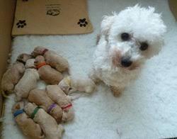 poodle y bichon frise puppies poodle stud dogs