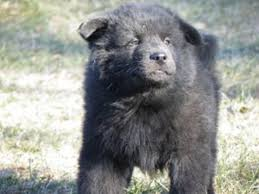 belgian sheepdog lab mix german shepherd akita corgi puppies are practically domesticated