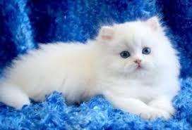 gatti persiani bianchi gatto persiano bianco occhi azzurri tutte le caratteristiche