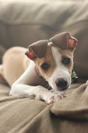 50 best miniscule images on pinterest animals jack russell