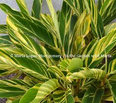 Tropical Looking Plants How To Prune Variegated Ginger In The Garden With Maria