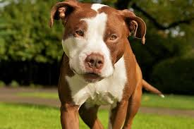 american pitbull terrier in uk pit bull dog breed full details and price of fighting dogs
