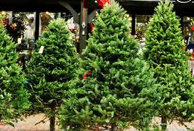 types of trees explained douglas fir balsam fir