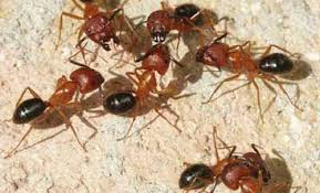 Winged Termites In Bathroom Florida Carpenter Ant Camponotus Floridanus Buckley And