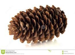 tree cone royalty free stock photos image 24026538