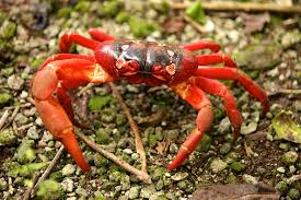 halloween crab christmas island red crab wikipedia