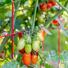 Types Of Patio Tomatoes Tips For Growing Healthy Tomatoes