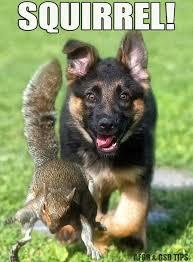 Funny German Shepherd Memes - squirrel fluffies pinterest german shepherds squirrel and dog