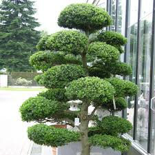 how to prune a bonsai tree love the garden