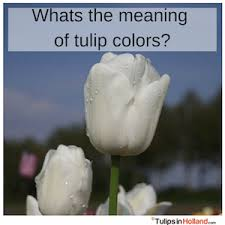 Flower Colour Symbolism - meaning of tulip colors tulips in holland