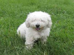 bichon frise dogs for adoption view ad bichon frise mix dog for adoption maryland westminster usa