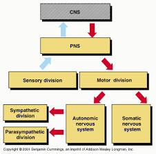 Visceral Somatic Reflex Peripheral Nerves