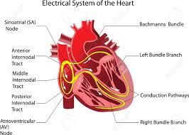Heart External Anatomy Human Anatomy Of The Heart Gallery Learn Human Anatomy Image