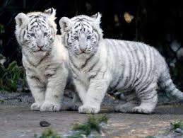 white tiger of animals