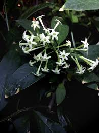 Most Fragrant Jasmine Plant - breathe in the scents of our most fragrant flowers