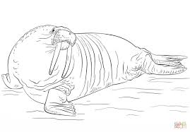 coloring page for walrus 21 walrus coloring page images free coloring pages