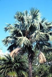 ornamental palms for central florida figure 4 bismarckia