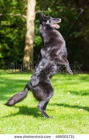 belgian sheepdog agility beautiful groenendael dog puppy running spring stock photo