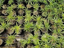 cannabis im garten sie baute gras im garten an teenie 15 verpetzt seine eigene