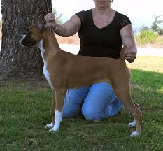 3 month boxer dog welcome to anden boxers