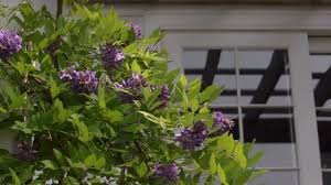 growing wisteria at home with p allen smith youtube