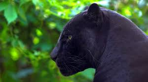 27 excellent hd black panther wallpapers hdwallsource com
