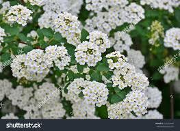 White Flowering Shrub - spiraea alpine spring flower white flowering stock photo 127759049