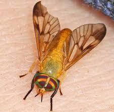 Flies In Backyard To Get Rid Of Yellow Biting Flies