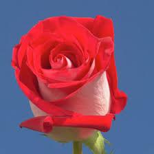 global roses global flower
