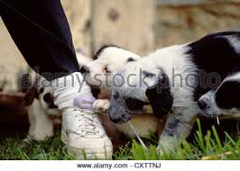 australian shepherd 3 weeks old australian shepherd x blue healer puppies 3 weeks old