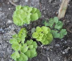 columbine plant aquilegia or columbine plant craftygardener ca