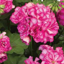 Geranium by Trailing Geranium Plants J Parker Dutch Bulbs