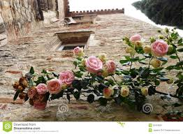 rose plant on ancient wall stock image image 32454851