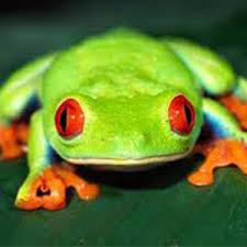 eyed tree frog fact sheet racinezoo org