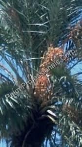 buying dactylifera medjool date palm tree medjool date