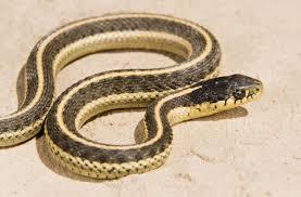 incredibly useful tips to identify a garter garden snake