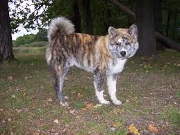 97 best cães images on pinterest japanese akita puppies and