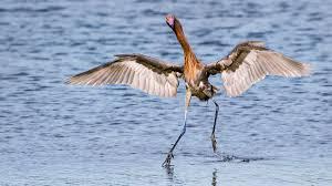 heron meaning black skimmer audubon field guide