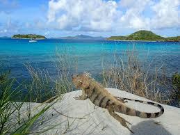 iguana island 8 awesome animals in the grenadines nature u0026 wildlife