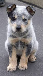137 best life images on pinterest dogs beautiful dogs and