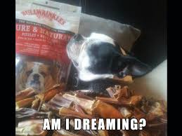 Boston Terrier Meme - bella the boston terrier will be living the dream talent hounds