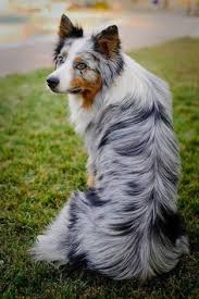 australian shepherd uglies i want one of these dogs chinese crested because how can you not