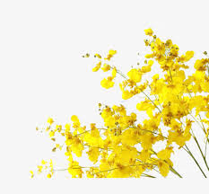 yellow flowers yellow flowers yellow flower png image and clipart for free
