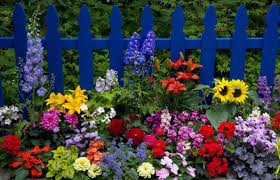 fence flower garden with painted blue picket fences beautiful