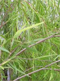 medicinal plants willow