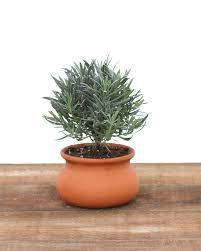Herb Topiaries 2 Lb Washpot Lavender Topiary W Pot Fresh Topiary Plants