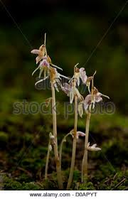 ghost orchid epipogium aphyllum flowering growing in deep shade