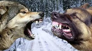 australian shepherd wolf mix german shepherd vs wolf who would win in a fight youtube