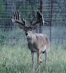 freak show bucks a hard look at breeding for antlers outdoor life