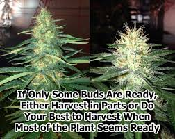 why do cannabis buds keep making new pistils on top grow weed easy